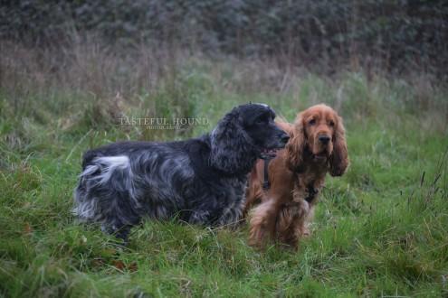 Alfie and Leo, Show Cocker Spaniels
