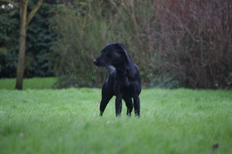 Billy, Working Labrador