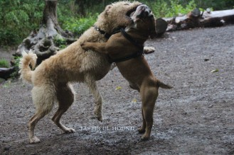 Brodie (Labradoodle) and George (British Bulldog)