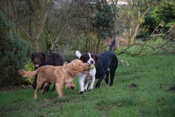 Hugo and Mia, Working Cocker Spaniels with Clifford, Labradoodle and Emi, Labrador