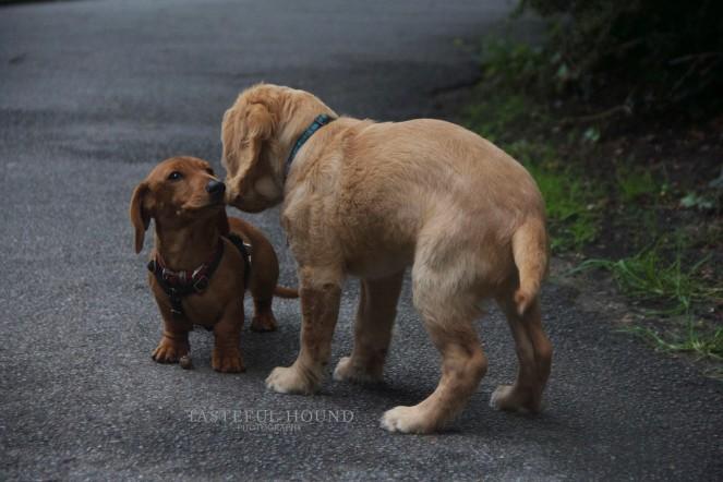 Rusty, Daschund with Hugo, Working Cocker Spaniel