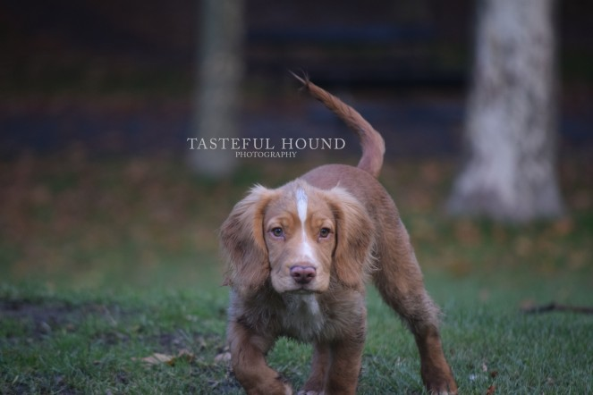 Hunter, Working Cocker Spaniel