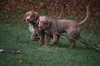 Hunter and Hugo, Working Cocker Spaniels