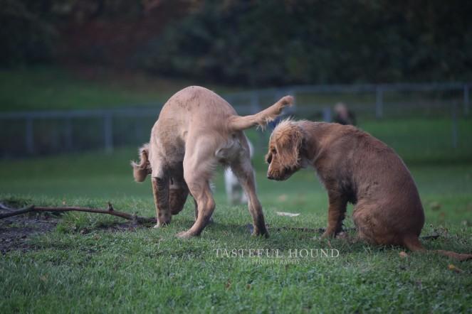 Hugo and Hunter, Working Cocker Spaniels