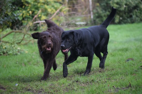 Clifford, Labradoodle with Emi, Labrador