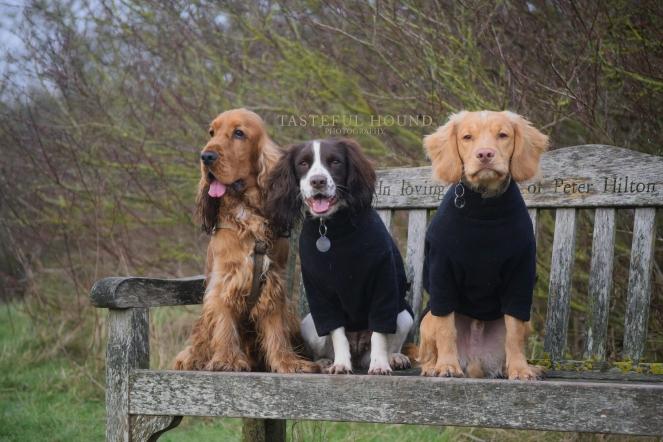Leo, Mia and Hugo, Cocker Spaniels