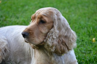 Megan, Show Cocker Spaniel