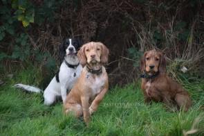 Mia, Hugo and Freddie, Working Cocker Spaniels