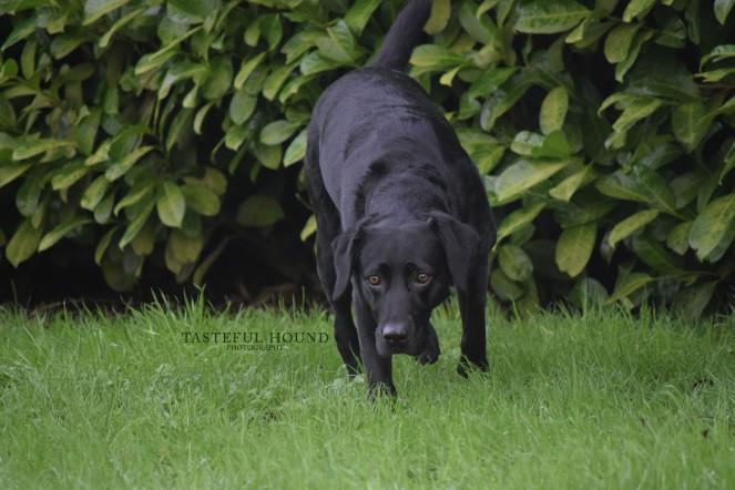 Molly, Labrador