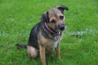 Rosie, Border Terrier x Jack Russell