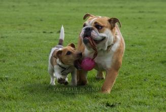Ava, Jack Russel and Nelly, British Bulldog