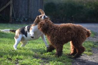Bonnie, Beagle and Austin, Labradoodle