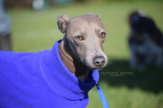 Blue, Italian Greyhound
