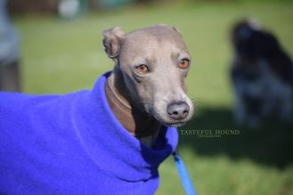Blue, Italian Greyhound