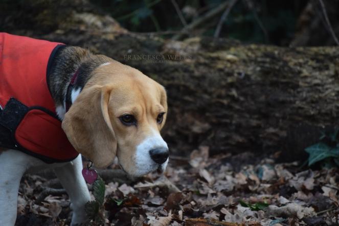 Bonnie, Beagle