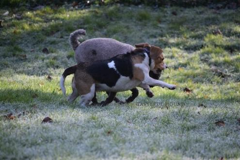 Milo, Mini Golden Doodle and Bonnie, Beagle