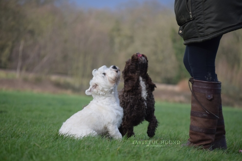 Maisy, Cockerpoo and Dolly, West Highland Terrier