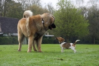 Ava, Jack Russel and Cujo, Leonberger