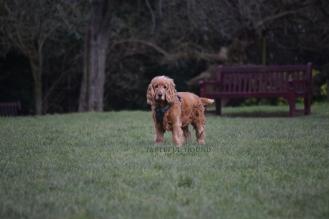 Duke, Cocker Spaniel