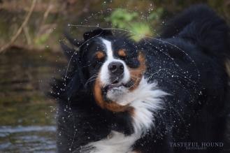 Evie, Bernese Mountain Dog