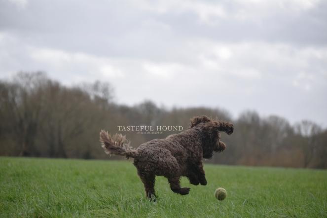 Maisy, Cockerpoo