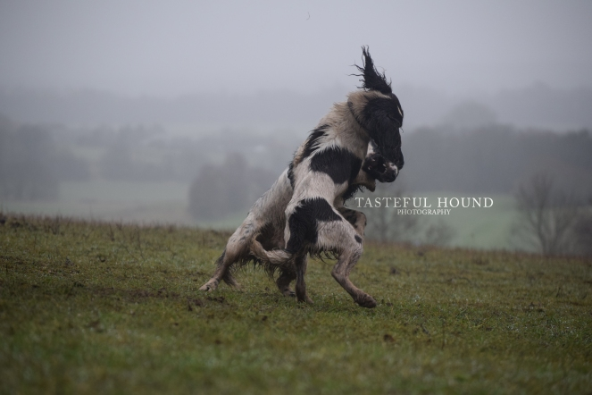 Fighting spaniels