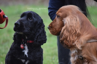 Henry and Leo, Show Cocker Spaniels