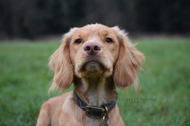 Hugo wearing his Barbour dog collar