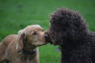 Hugo, Working Cocker Spaniel and Poodle