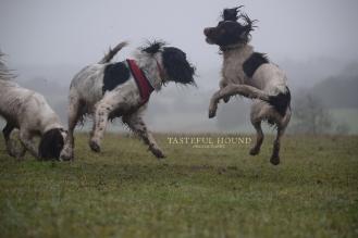 Jumping spaniels