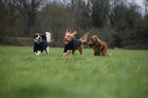 Mia, Hugo and Leo, Cocker Spaniels