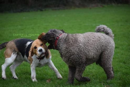Bonnie, Beagle and Milo, Mini Golden Doodle