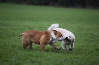 Nelly, British Bulldog and Barney, Bichon Frise X