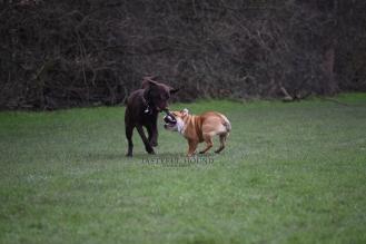 Labrador and Nelly, British Bulldog