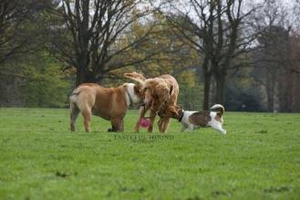 Nelly, British Bulldog, Hugo, Working Cocker Spaniel and Ava, Jack Russel