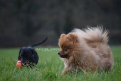 Dashund and Pomeranian