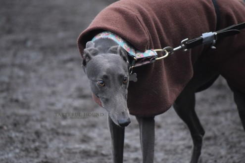 Poppy, Greyhound