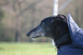Prince, Greyhound