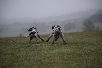 sprocker chasing scout