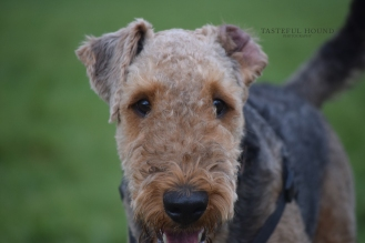 Ralph, Airedale Terrier