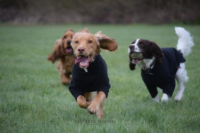 Leo, Hugo and Mia, Cocker Spaniels