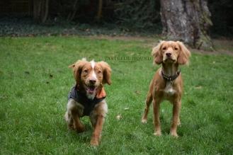 Hunter and Hugo, Cocker Spaniels