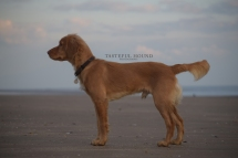 Hugo, Working Cocker Spaniel