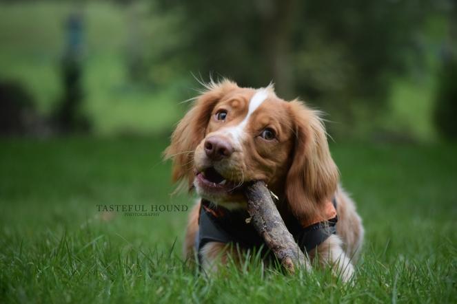 Hunter, Working Cocker Spaniel