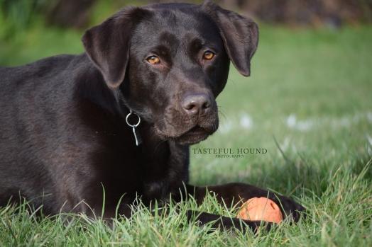 Lenny, Labrador