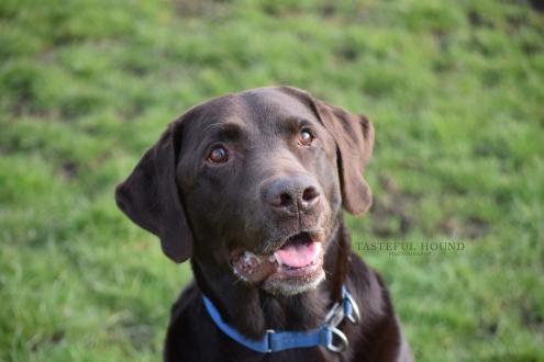 Max, Labrador