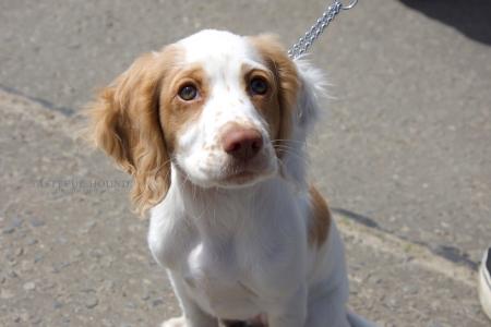 Little Spaniel Puppy