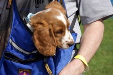 Welsh springer ready for a nap in a backpack