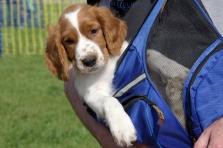Welsh springer in a back pack